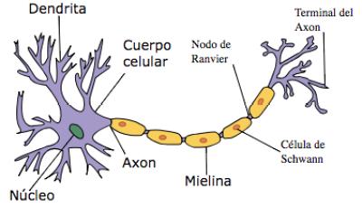 neurona del cerebro humano