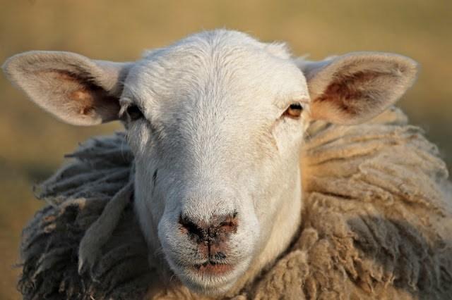 Figura 3: ¿cómo crees que se siente esta oveja?¿está sana?.