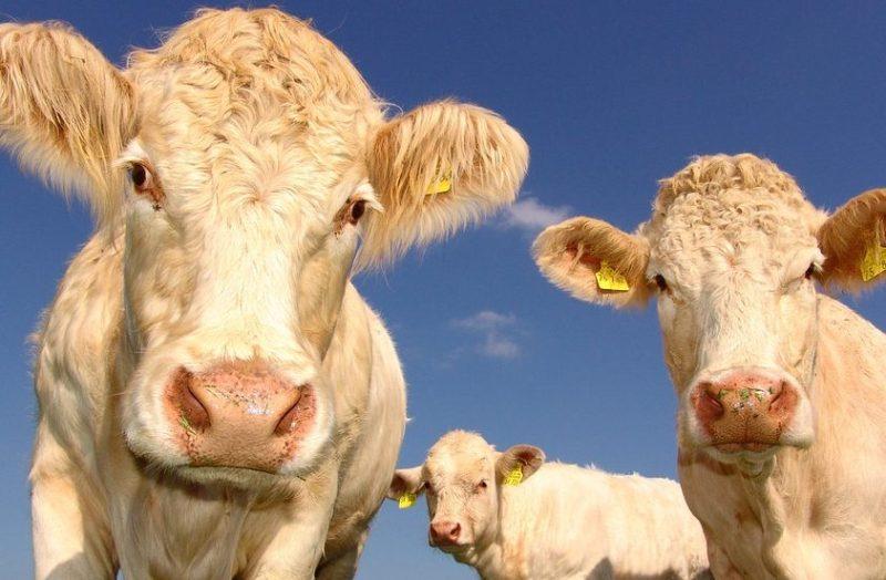 Cabezas de ganado
